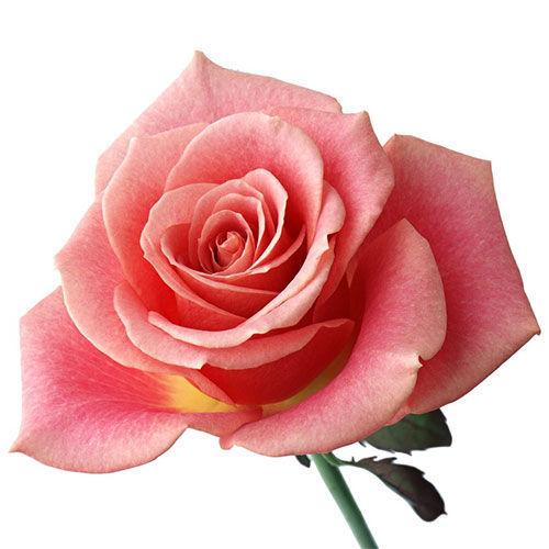 фото роза кения